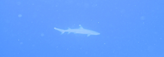 White Tipped Reef Shark. Not a Man Eater.